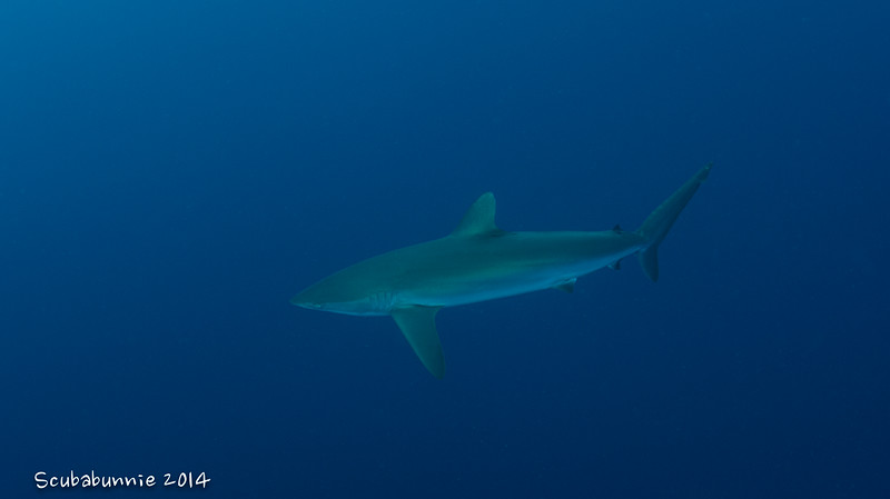 Silky shark - Galapagos by Tracey Jennings