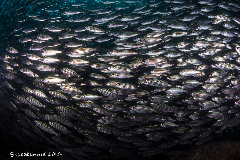 School of Salema - Galapagos by Tracey Jennings