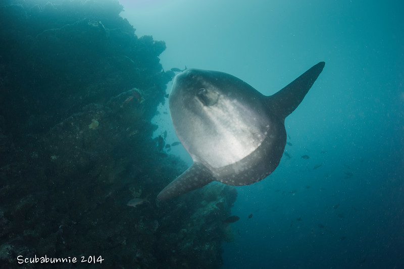 Oceanic Sunfish or Mola Mola - Galapagos by Tracey Jennings