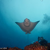 Eagle ray - Galapagos by Tracey Jennings