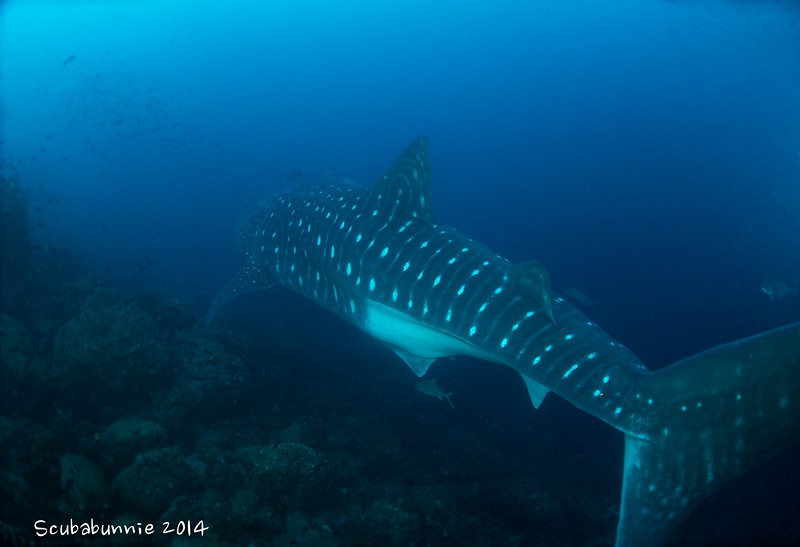 Whale Shark - Galapagos by Tracey Jennings