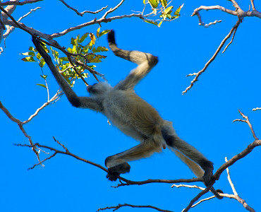 A Spider Monkey going over the top of me in the campground at Santa Rosa National Park.