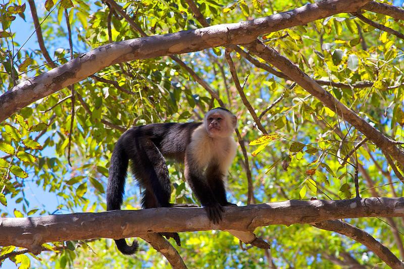 An older white faced monkey.