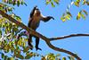 White Faced Monkey....same campground at Santa Rosa NP