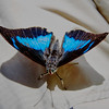 CR Butterfly 017