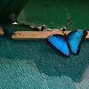CR Butterfly 020