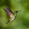 CR Humming Birds 027