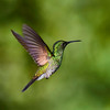 CR Humming Birds 028