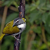 Black-headed Saltator
