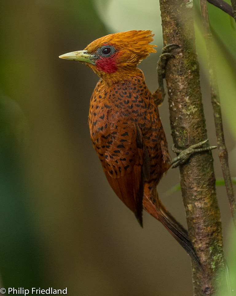 Cinamon Woodpecker