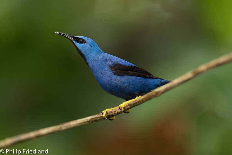 Shining Honeycreeper-male