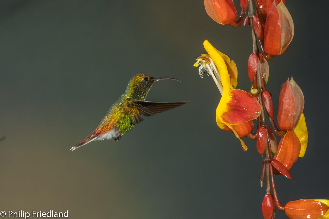 Bronzy Hermit Hummingbird