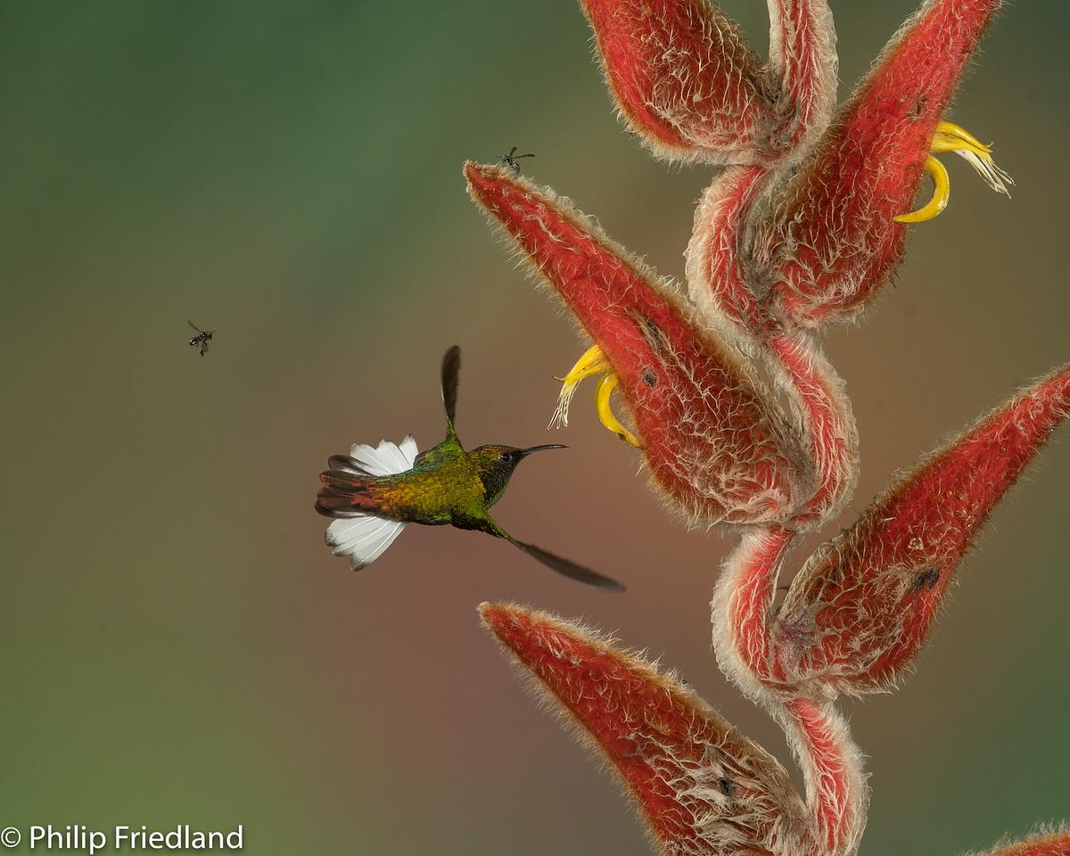 Coppery headed Emerald Hummingbird