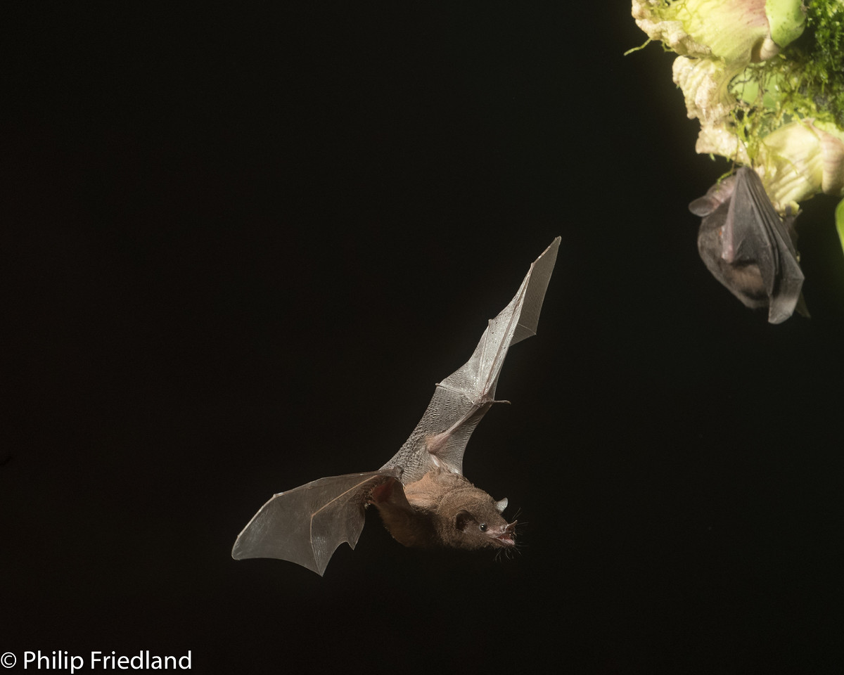 Pallas's Long-Tongued Bat (Glossophaga soricina), Laguna del Lagarto Lodge, Costa Rica