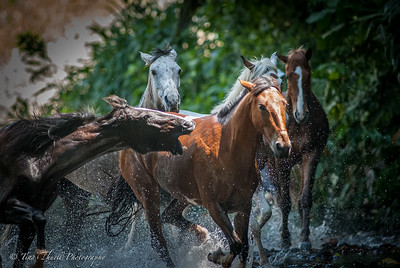 Running the horses through the river and some horses claim their space and position a little more aggressively than others.