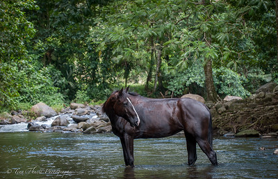 Cooling off and resting in the river!  A Joy for all of us and especially the horses who after their river run just hung out in the river happy as could be.