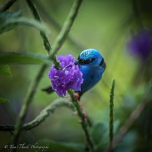 Shining Honeycreeper gets right into those flowers