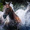 Big splash and all the horses are happy to beat the heat and cool off!