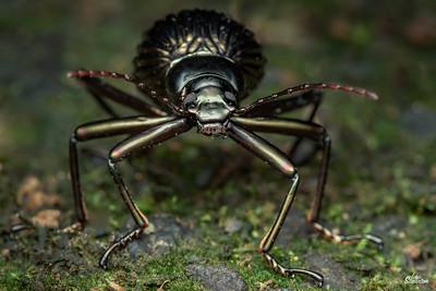 Hegemona Darkling Beetle