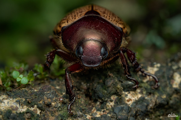 Shining Leaf Scarab Beetle
