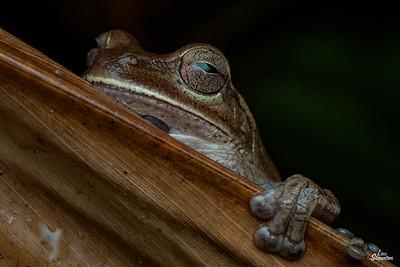 Tree Frog (Anura)