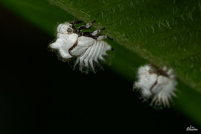 Two-marked Treehopper Nymphs