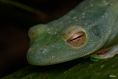 Canal Zone Tree Frog