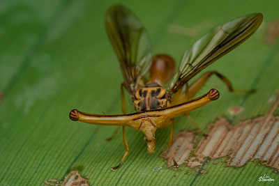 Male Hammerhead Fly