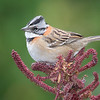 Rufous-collared Sparrow.