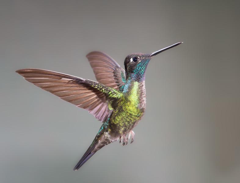 Magnificent Hummingbird.