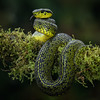 Black and Green Palm Pit Viper