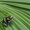 Black and Green Poison Frog