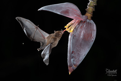Fruit bat on banana flower