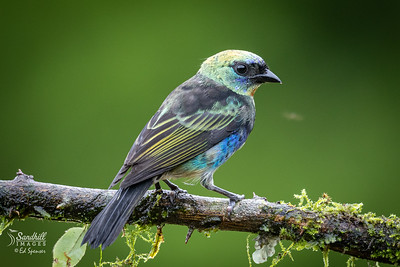 Golden hooded tanager juvenile