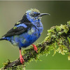 Red-legged Honeycreeper (juv.)