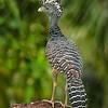 Great Curassow (female)