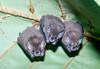 bats+tent+%284%29-529835968-O