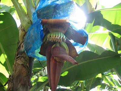 banana flower at Earth Univ