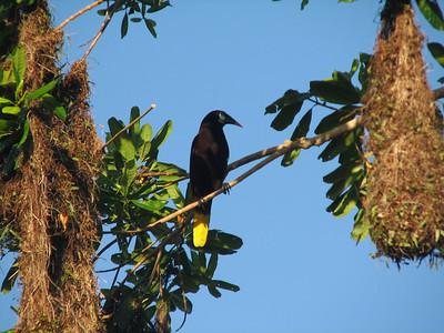Oropendola at nest