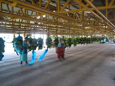 banana factory at EARTH Univ.
