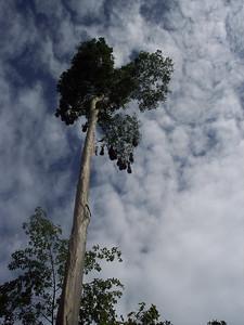 Montezuma's Oropendola nests