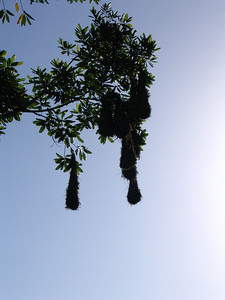 Oropendola nests at EARTH