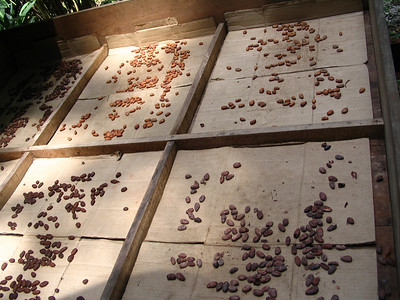 Drying cacao beans