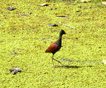 The Northern Jacana walking on water.