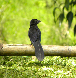 Groove-billed Ani.  A bird with an outsized bill....I can commiserate.