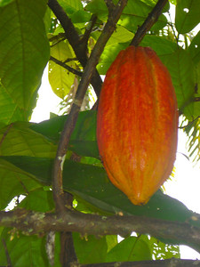Todd killed this threatening cacao pod before it could do any REAL damage