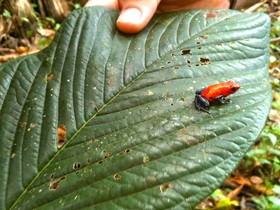 Poison Dart Frog-Stacey