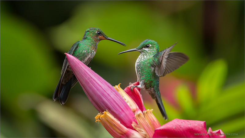 """A Family Issue!!<br /> <br /> 2 Green-crowned Brilliant Hummingbirds sort out their problems<br /> in front of my guests during a photo-shoot in Costa Rica. Looks like mother and daughter here, we all wonder why nature needs to be so confrontational! (more with hummingbirds then any other of our planets species!)<br /> <br /> I think the word """"Mine"""" explains things.. :))<br /> <br /> Special thanks to everyone for viewing my images!!<br /> <br /> Kind regards from Canada!<br /> <br /> Green-crowned Brilliant Family<br /> RJB Colours of Costa Rica Tour<br /> ray@raymondbarlow.com<br /> 1/1000s f/4.0 at 400.0mm iso1600"""