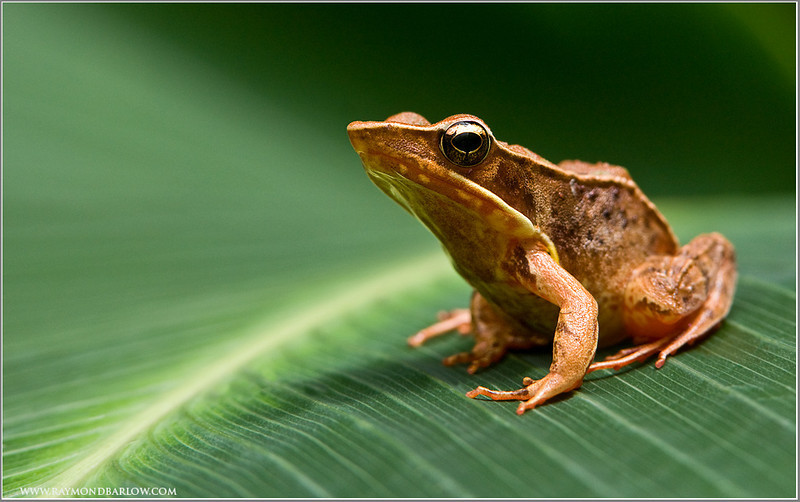 Brilliant Forest Frog