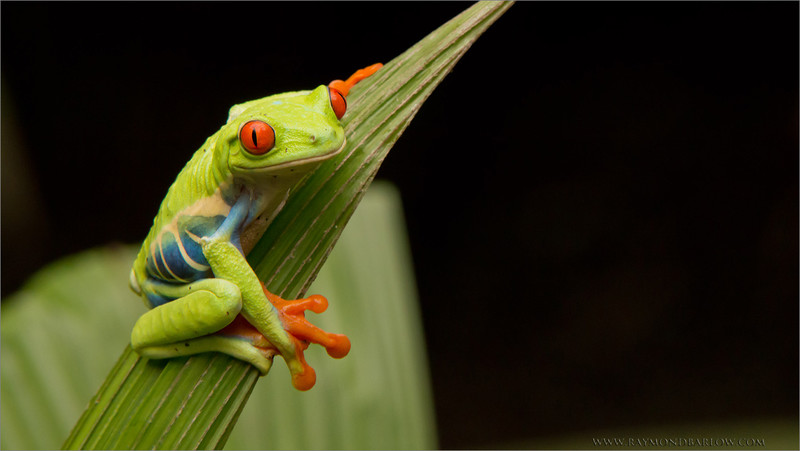 "Red-eyed Tree Frog<br /> RJB Costa Rica Photo Tours<br /> <br />  <a href=""http://www.raymondbarlow.com"">http://www.raymondbarlow.com</a><br /> 1/100s f/13.0 at 270.0mm iso3200"